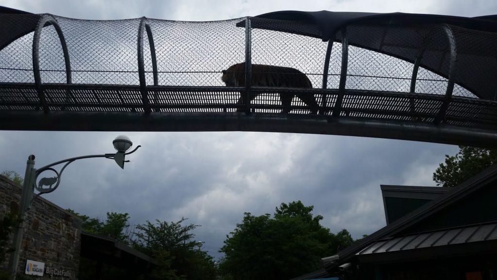 Philadelphia Tiger