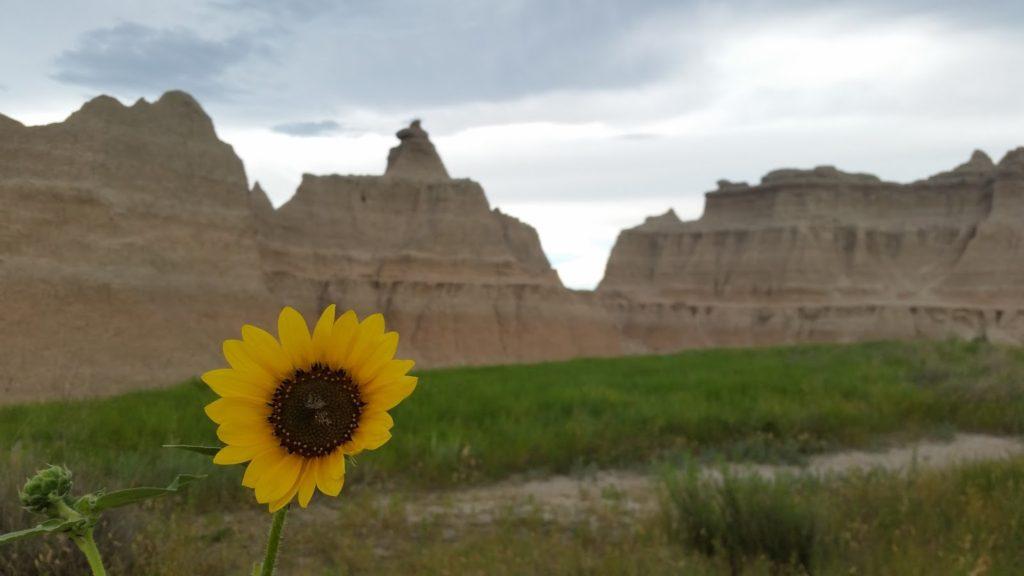 Badlands sunflower