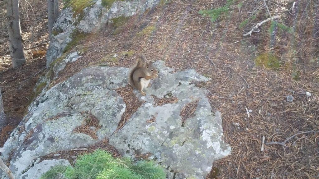 Yellowstone Chipmunk