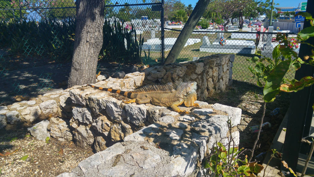 Grand Cayman Islands lizard
