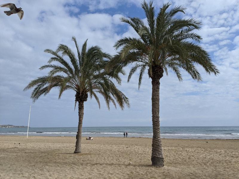 Alicante palm trees